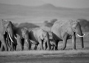 framed print black white heard of elephants picture wild
