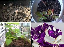 15x Drachen purpurlila Rose Samen Saatgut Blumensamen Saatgut Blume Pflanze #312