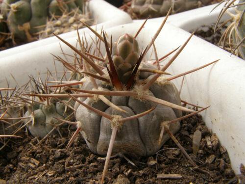 100 seeds Gymnocalycium bozsingianum SUPER  spine!