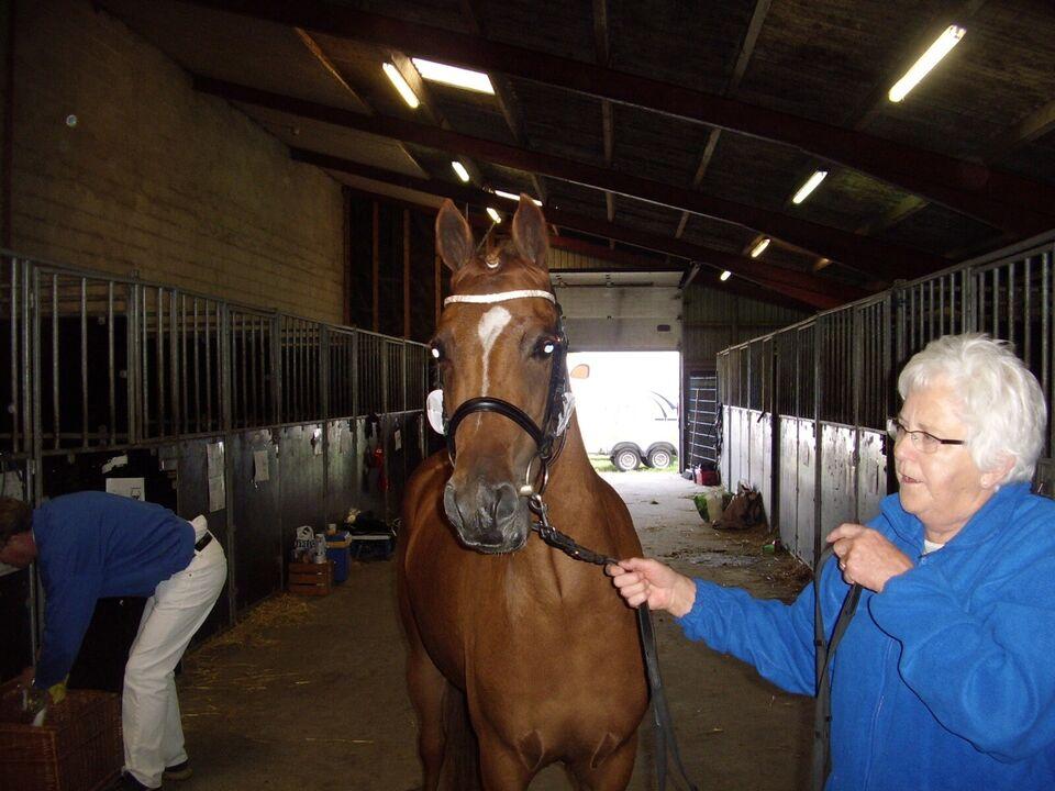 Dansk Sports Pony, hoppe, 12 år