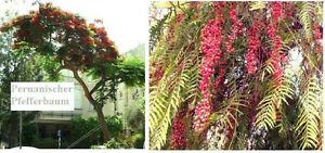 Ein-scharfes-Gewuerz-Frostharter-Peruanischer-Pfefferbaum-Samen-tolle-Duftbaeume