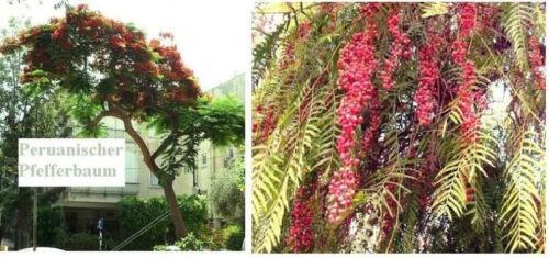 Frostharter Peruanischer Pfefferbaum perfekt als Topf Samen /& Kübelpflanze