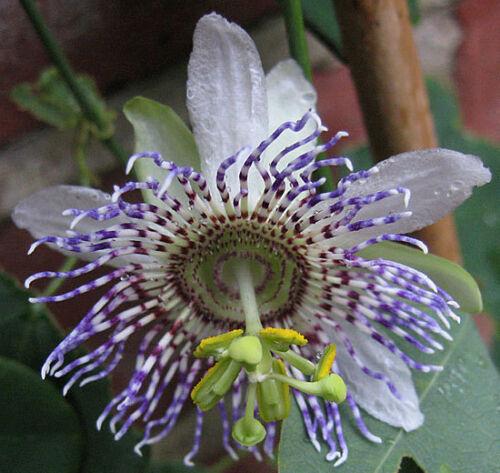 Passiflora elegans10/_Seeds