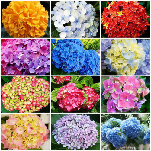 30Pc Beautiful Garden Potted Blue Hydrangea Flower Seed Flower Plant Rare Seeds.