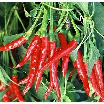 RED CHILLI SEEDS (VEGETABLE SEEDS)