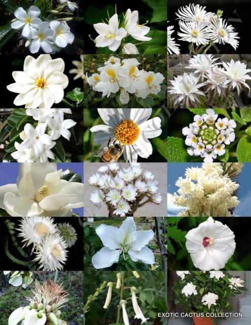 White flower plants mix exotic garden tree fragrant bonsai bloom white flower plants mix exotic garden tree fragrant bonsai bloom seed 15 seeds mightylinksfo