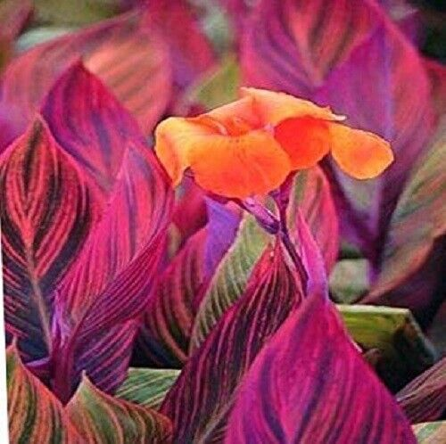 Canna Lily Phasion Bonsai Bulbs Perennial Impressive Stunning Roots Beautifying