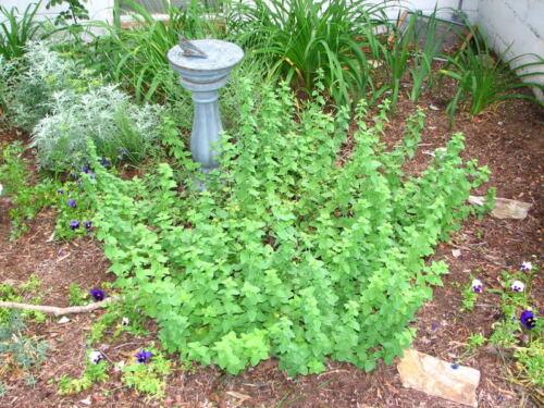 Winter Marjoram Oreganum Vulgare Hirtum Herb Seeds 500 GREEK OREGANO Italian