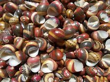 "25 Red Nerita Seashells Natural Tiny Rare Shells 1/2""-3/4"" Crafts Coastal Decor"