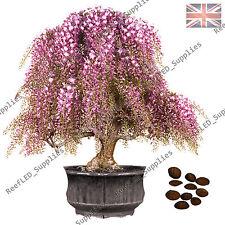 RARA ROSA / BIANCO GLICINE FLORIBUNDA BONSAI fioritura delle piante vegetali -10 semi vitali