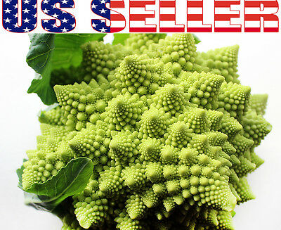 50+ ORGANICALLY GROWN Romanesco Natalino Broccoli Seeds Heirloom NON-GMO Italian
