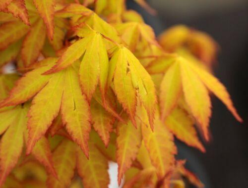 Acer palmatum  Summer Gold    7 seeds