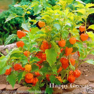 CAPE-GOOSEBERRY-220-seeds-Physalis-peruviana