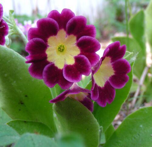 Hybrid Alpine Primula//Primrose Rouge//Rose Jardin ou frontière Auricula graines 2018
