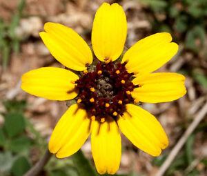 CHOCOLATE-FLOWER-Berlandiera-Lyratai-200-Bulk-Seeds