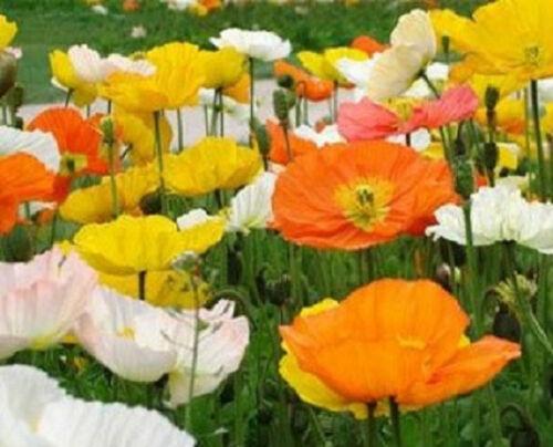500 Alpine Poppy Seeds FLOWER SEEDS