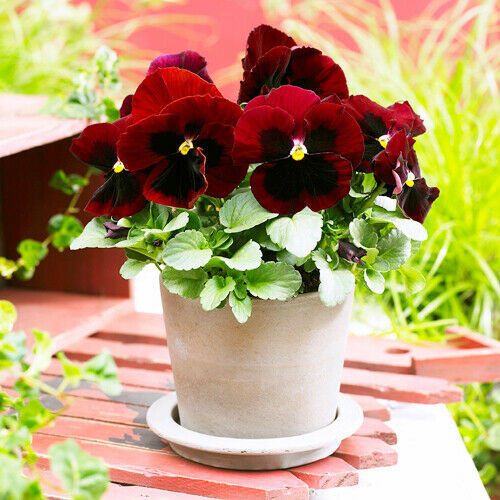 Pansy Red Spot Seed 50 Seeds Viola Tricolor Herb Trinity Flower Garden Seed A088