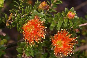 Eremaea-beaufortioides-x-25-seeds-Orange-flowers-compact-shrub