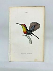 1st-Ed-Hand-colored-Jardine-039-s-Natural-History-1834-Moschitus-Hummingbird-11