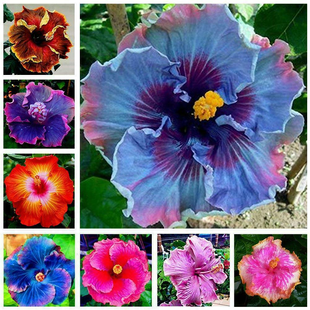 30X 24 Colors Giant Hibiscus Seeds Dinnerplate Hibiscus Perennial Flower S9G5
