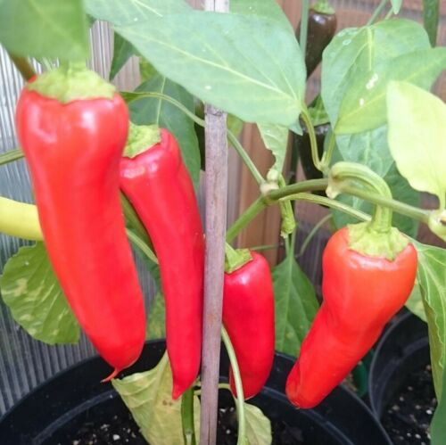 Chilli HUNGARIAN SWEET WAX RED 10 Seeds HEIRLOOM vegetable garden PEPPER CHILE