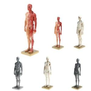 Details about 11'' Female / Male Anatomy Figure Model Anatomical Reference  for Artists