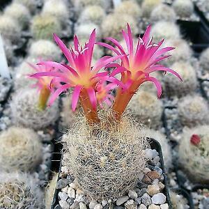 Neoporteria-nidus-senilis-Cactus-Cacti-Succulent-Real-Live-Plant