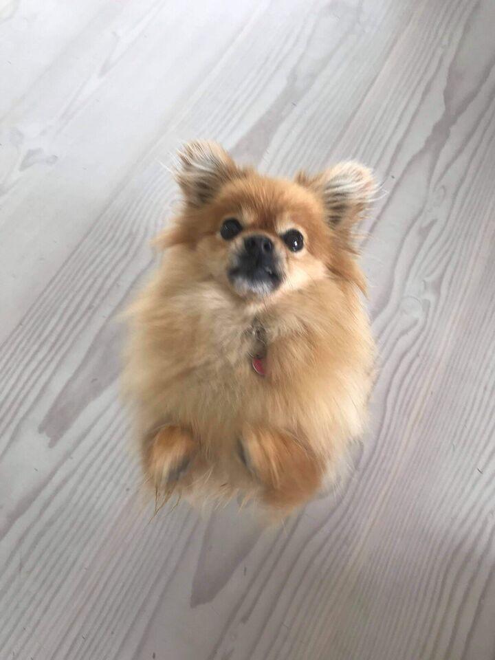 Pomeranian , hund, 6 år