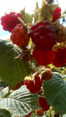 50 semi lampone rosso rubus rosifolius saspberry red semi italiani
