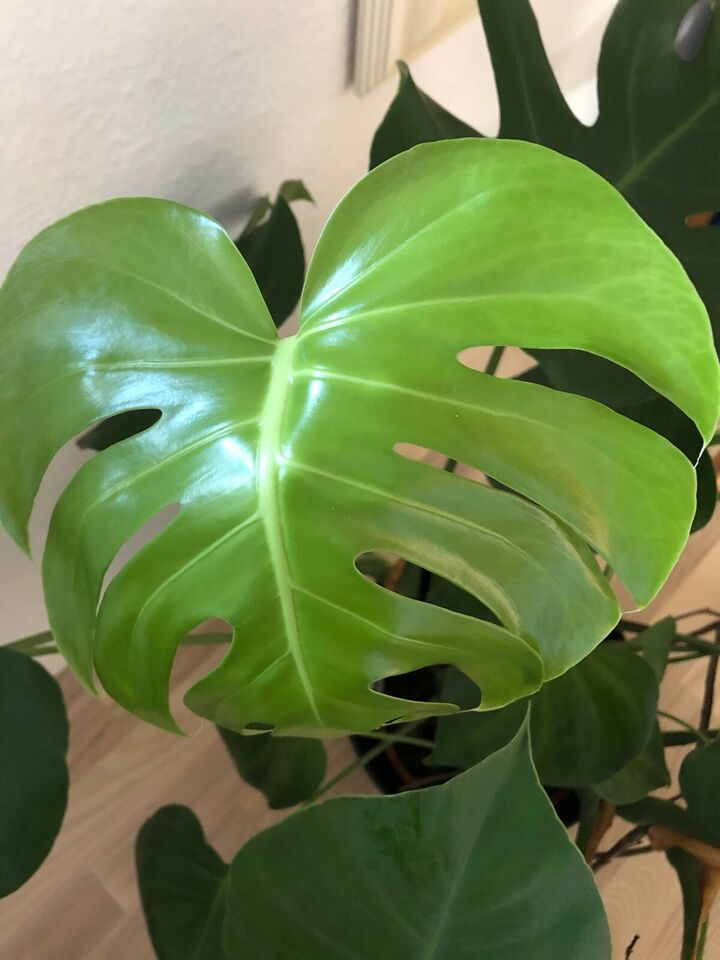 Fingerphilodendron