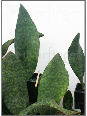 Details about  /Sansevieria Masoniana — Masons Congo Paddle Leaf+Roots Robust Healthy Plant