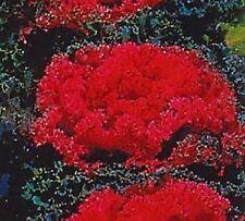 30+ REDBAR RED FLOWERING KALE FLOWER SEEDS