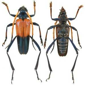 Insect-Beetles-Cerambycidae-Pachyteria-sp-Jawa-Is-31-mm
