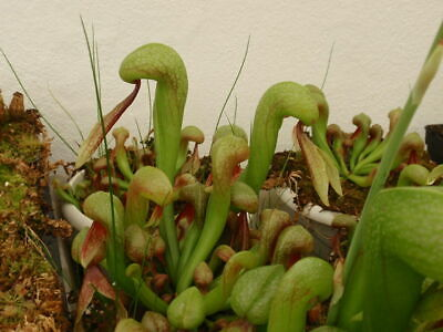 Darlingtonia californica 10 seeds Fresh 2019 Plant Carnivorous seed