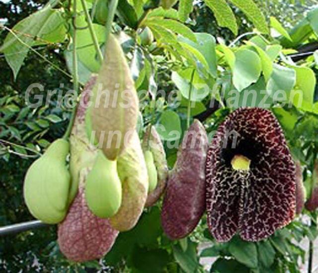 🔥 Gespensterpflanze 10 frische Samen Aristolochia elegans * Rankpflanze