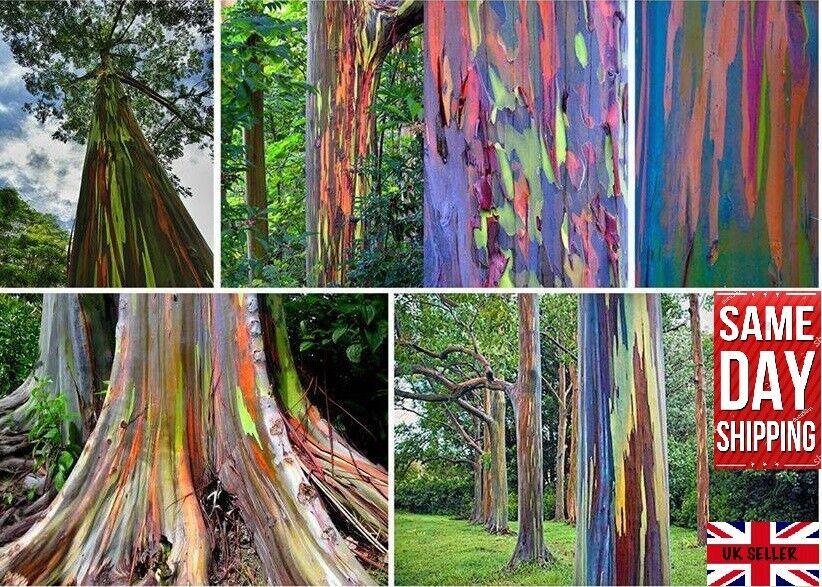 Rainbow Gum (Eucalyptus Deglupta) Mindanao Gum 50+ fresh seeds Same Day Dispatch