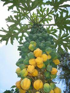 Mountain Papaya-CARICA PUBESCENS - 5+ Graines-semillas-Graines-Samen