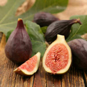Fig-Trees-4-Violette-de-Bordeaux-Fruits-Live-Tree-Four-Plants-Garden-2-034-Pot