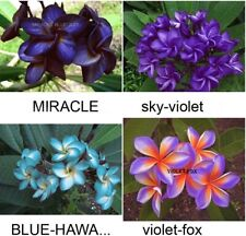 """/""""THREE KING/"""" FRAGRANCE PLUMERIA HEALTHY CUTTING WITH ROOTED 7-12 INCH"""