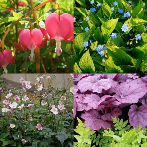 Winterfeste Pflanzen für ein Schatten Beet  MIT PFLANZPLAN 50 Stk