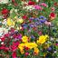 Wild-Scented-Bee-Cottage-Garden-Grass-Seed-Free-Perennial-Plant-Mix-Flower-Seeds Indexbild 7
