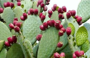 15-Graines-de-Figuier-de-Barbarie-Cactus-Methode-BIO-seeds-fruit-vivace-jardin