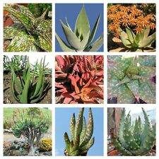 10 Aloe mixed  seeds * Easy grow * Exotic * succulents  CombSH C22