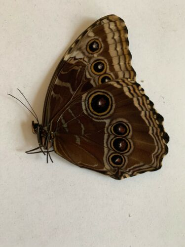Morpho helenor Carillensis Female A1 Papered Specimen Ex Costa Rica