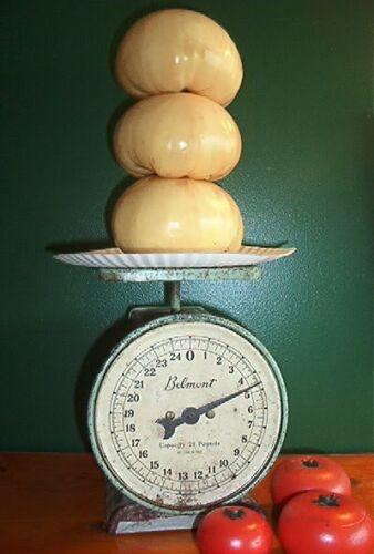 50 WHITE WONDER BEEFSTEAK TOMATO Lycopersicon 1-2 lb Fruit Vegetable Seeds