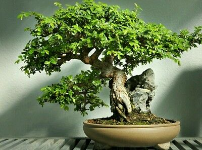 Sporting Chinese Elm Tree! Fresh Seeds, Indoor Our Outdoor Bonsai Tree! Fast Growing!