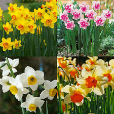 400pcs Beautiful Double Narcissus Flower Bulbs Scented Daffodil Garden Plant