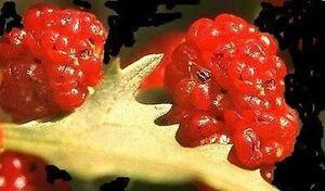 Exotique légumes-la erdbeerspinat-anormalement bien, n&#039;a pas tout!  </span>