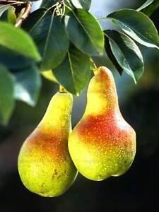 Arbol-de-hoja-de-fruta-Pera-Foto-Rojo-Amarillo-Verde-Impresion-del-Arte-Cartel-BB291A
