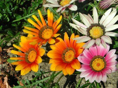 G835 TREASURE FLOWER SEEDS SAMEN 40 graines de GAZANIE EN MELANGE Gazania Rigens